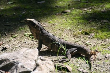 Lizard at Chichen Itza