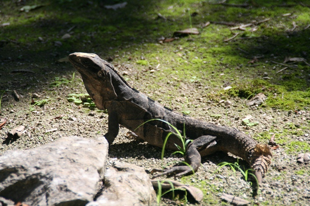 Lizard at Chichen Itza