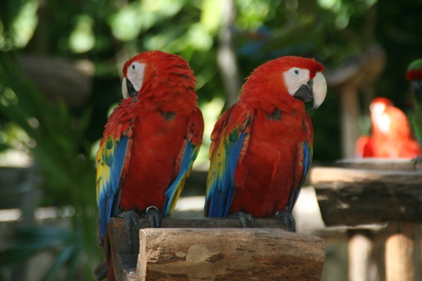 Parrots at Xcaret