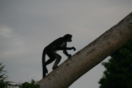 Spider Monkey at Xcaret
