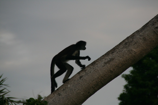 Spider Monkey at Xcaret