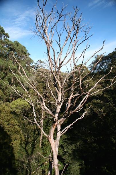 Beech Forest dead Eucalyptus tree