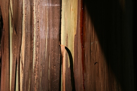 Beech Forest peeling bark Eucalypt