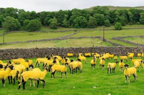 TDF2014_Etape_01-Yellow_Sheep