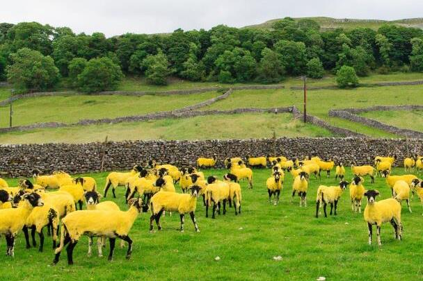 TDF2014_Etape_01-Yellow_Sheep